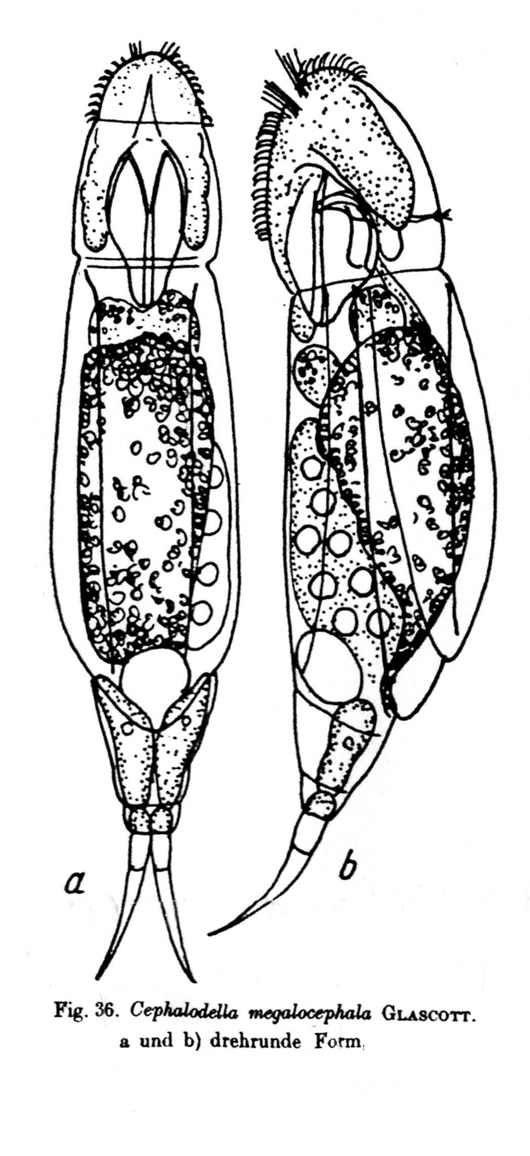 rotifera rotundă)